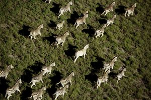Burchell's / Common / Plains Zebras - Aerial view of migrating zebra