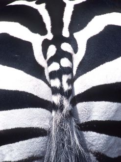 BURCHELL'S / PLAINS / COMMON ZEBRA - close-up of rear