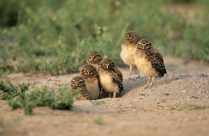 Burrowing Owl - six on ground