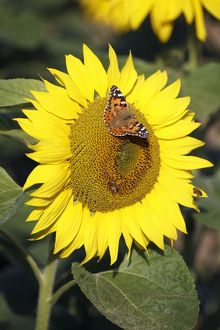 Butterfly, Painted Lady - feeding on sunflower head