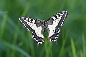 Butterfly, Swallowtail - resting on plant