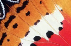 BUTTERFLY WING - close-up of wing,