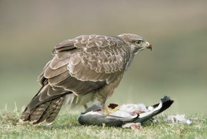 Buzzard - at pigeon prey