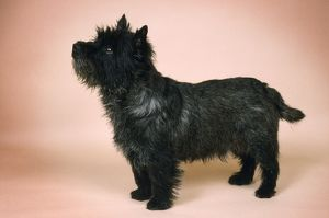 CAIRN TERRIER DOG - SIDE ON