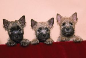 Cairn Terrier Dog - three in a row