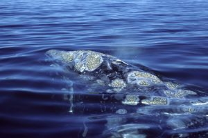 California Grey Whale - Close-up of head area, showing blowholes, and patches of