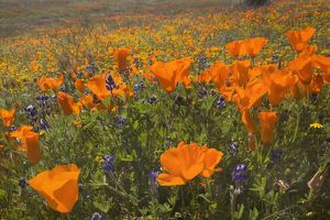 California Poppies and Yellow Goldfields (Lasthenia californica), Pygmy-Leaved Lupines