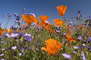 Californian Poppy and violet Davy Gilia (Gilia latiflora ssp. davyi) cover hills