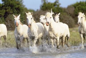 Camargue Horse - group running through water