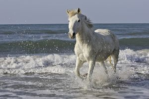 Camargue Horse - running along the beach