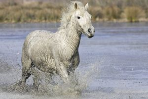 Camargue Horse - running through water