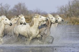 Camargue Horses - running through water