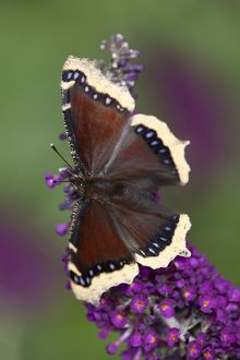 Camberwell Beauty Butterfly - on buddleia