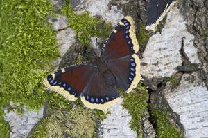 Camberwell Beauty / Mourning Cloak Butterfly - resting on log