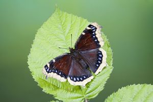 Camberwell Beauty / Mourning Cloak Butterfly - resting on bramble