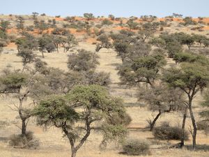Camelthorn Trees - and red sand dunes
