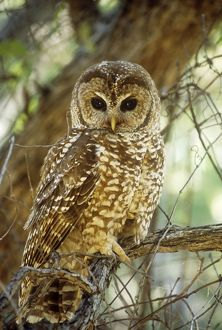CAN-371 MEXICAN SPOTTED OWL - perched in tree