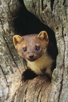 CAN-933 PINE MARTEN - in hole in tree