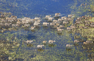 Cape Buffalo - crossing a marsh area - aerial view
