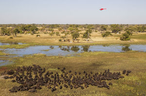 Cape Buffalo - herd at a marsh area - the helicopter