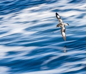 Cape Petrel / Cape Pigeon / Pintado Petrel in flight