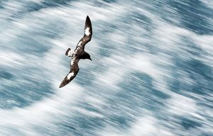 Cape Petrels / Cape Pigeons / Pintado in flight