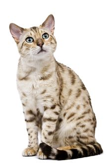 Cat - 1 year old Bengal Seal Mink Snow