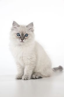 CAT - 10 week old ragdoll kitten