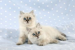 CAT - 10 week old ragdoll kittens