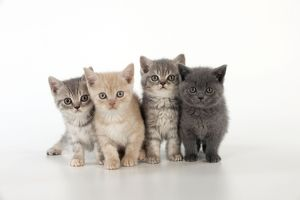 CAT - 7 week old British shorthair kittens
