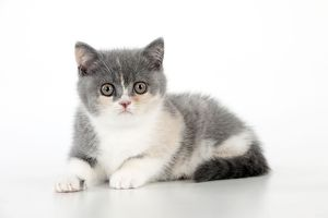 CAT - 9 week old British shorthair kitten