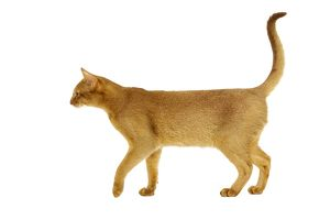 Cat - Abyssinian Red, side view with tail raised