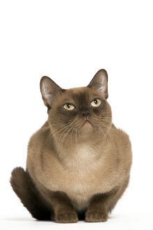 Cat - American Burmese Chocolate