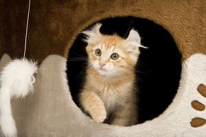 Cat - American Curl Red Tabby Kitten appearing through hole