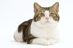 Cat - American Shorthair, Brown tabby and white, facing. Close-up