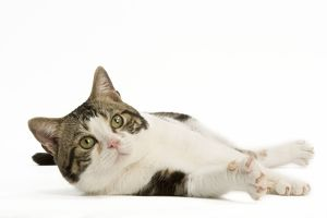 <b>American Shorthair</b><br>Selection of 57 items