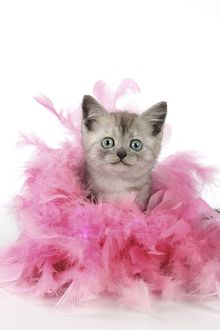 Cat. Asian. Black smoke kitten (8 weeks) with pink feather boa