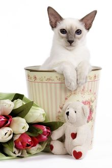 Cat - Balinese - Kitten in bin with teddy and flowers