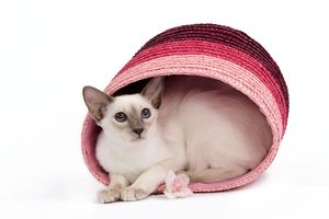 Cat - Balinese - Kitten curled up in pink basket