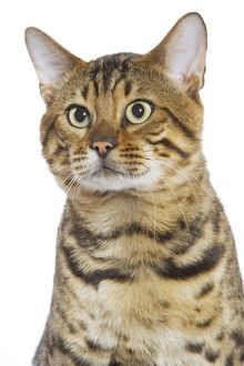 Cat - Bengal brown spotted