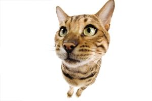 Cat - Bengal brown spotted - fish-eye lense