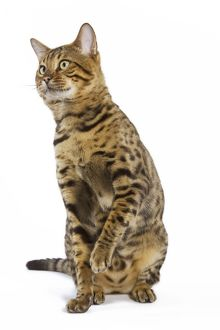 Cat - Bengal brown spotted sitting in studio