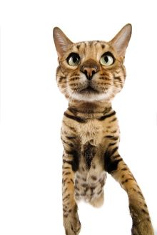 Cat - Bengal brown spotted stretching up to camera - fish-eye lense
