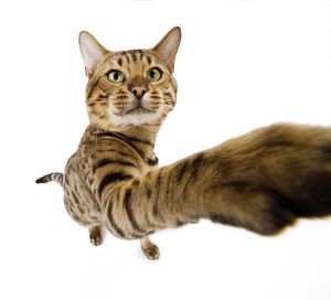 Cat - Bengal brown spotted stretching paw to camera - fish-eye lense