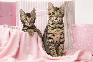 Cat Bengal kittens