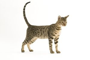 Cat - Bengal, short-haired. Standing
