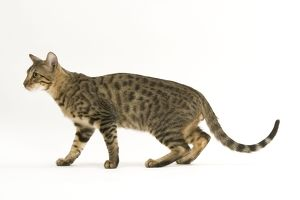 Cat - Bengal, shorthair. Side view