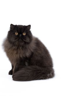 Cat - Black Persian