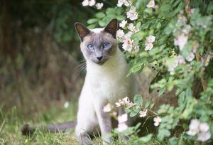 CAT - Blue Point Siamese