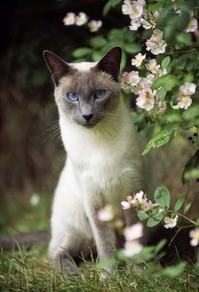 CAT - Blue Point Siamese sitting in garden